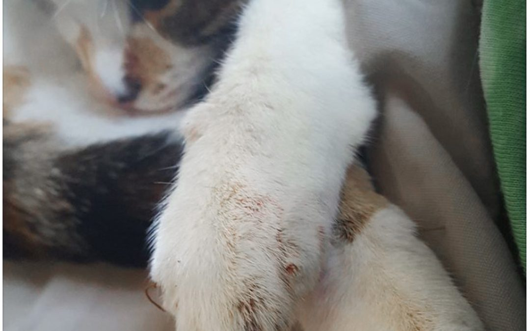 Many AVMA Vets Declaw Cats And Give NO Pain Meds
