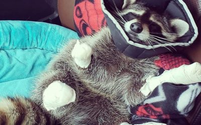 Declawing Raccoons: The Truth Unmasked