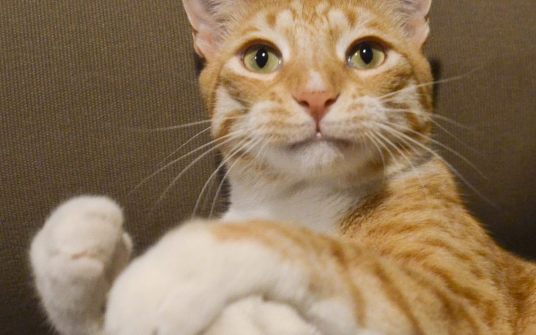 The Austin Anti-Declawing Bill. The good, the bad, and the ugly.